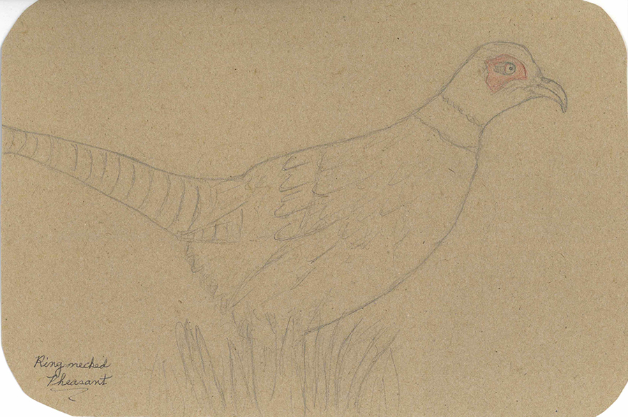 This is one of Baba's bird drawings. It's a ring-necked pheasant.